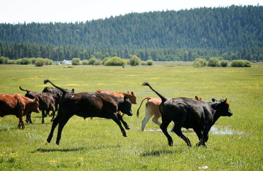 cattle running